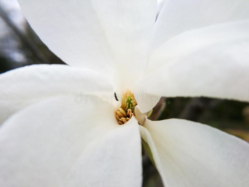 N?ra ?vre f?r Magnoliablomma Stort vitt härligt fotografi för blommamakronatur arkivbilder