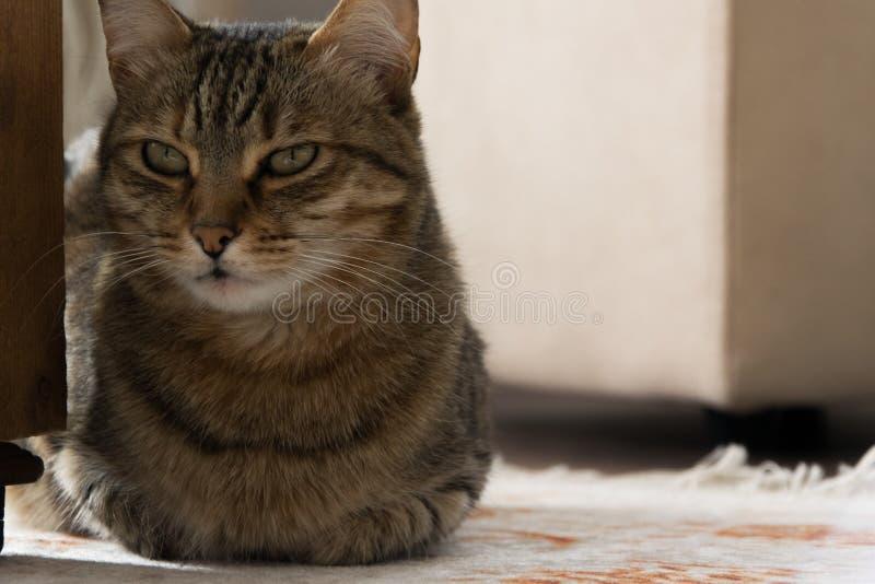 N?ra ?vre sikt av den europeiska katten arkivfoto