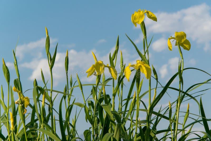 N?ra ?vre sikt av den h?rliga gul sv?rdsliljablomman Gul flagga för iris'Pseudacornus' royaltyfri fotografi