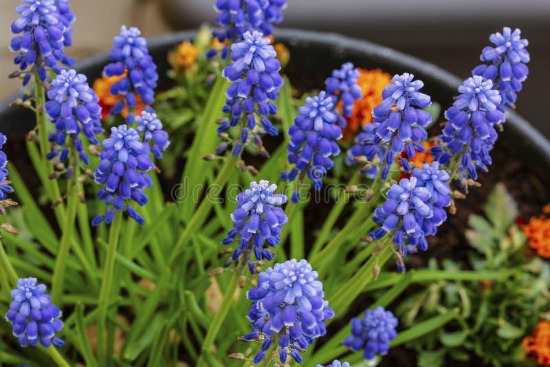 N?ra ?vre sikt av isolerade lavendelblommor H?rliga bakgrunder royaltyfria foton
