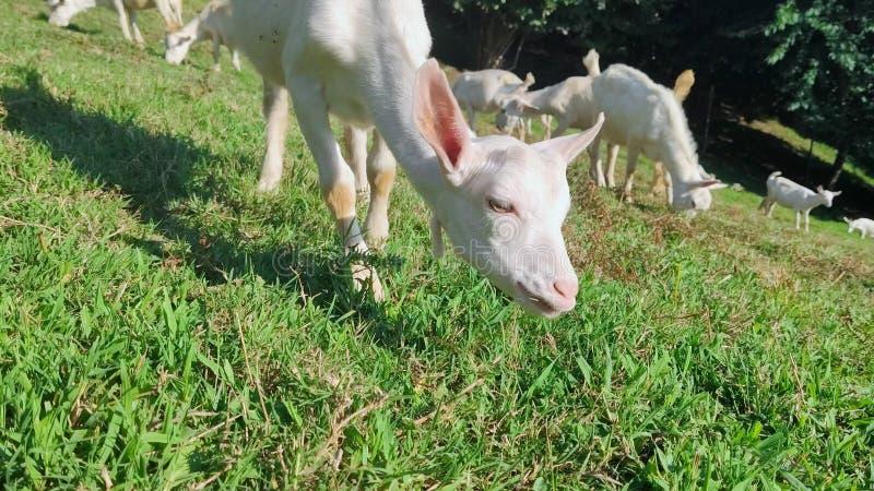 N?rbild den lilla geten äter gräs flock av unga vita goatlings som betar på en grön gräsmatta i mitt av bergen arkivbild