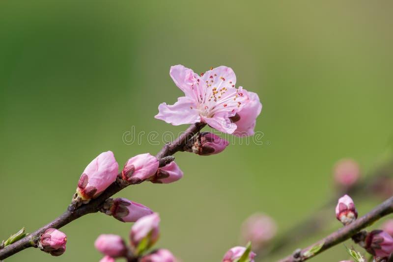 N?rbild f?r blommor f?r persikablomningtr?d i Chengdu royaltyfria foton