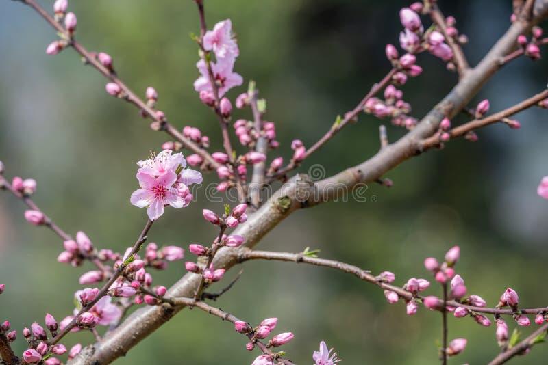 N?rbild f?r blommor f?r persikablomningtr?d i Chengdu royaltyfri bild