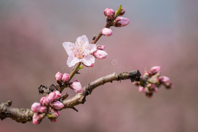 N?rbild f?r blommor f?r persikablomningtr?d i Chengdu arkivfoton