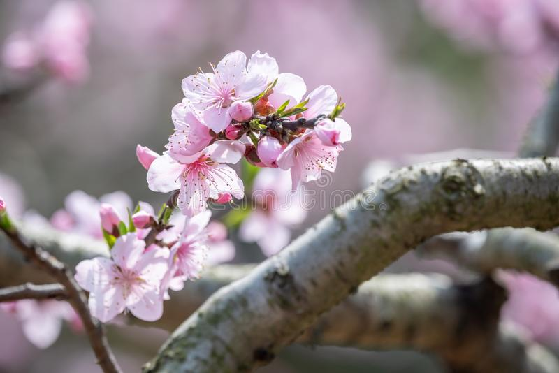 N?rbild f?r blommor f?r persikablomningtr?d i Chengdu royaltyfria bilder