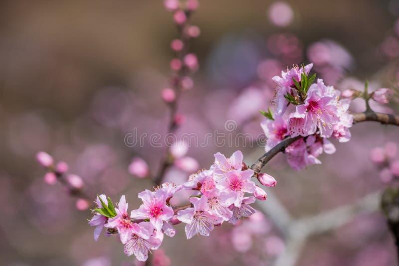 N?rbild f?r blommor f?r persikablomningtr?d i Chengdu fotografering för bildbyråer