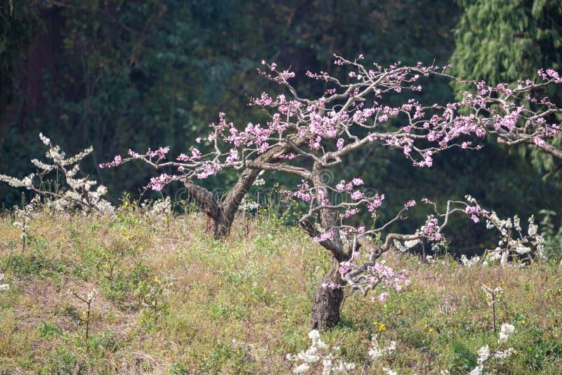 N?rbild f?r persikablomningtr?d i Chengdu royaltyfri foto