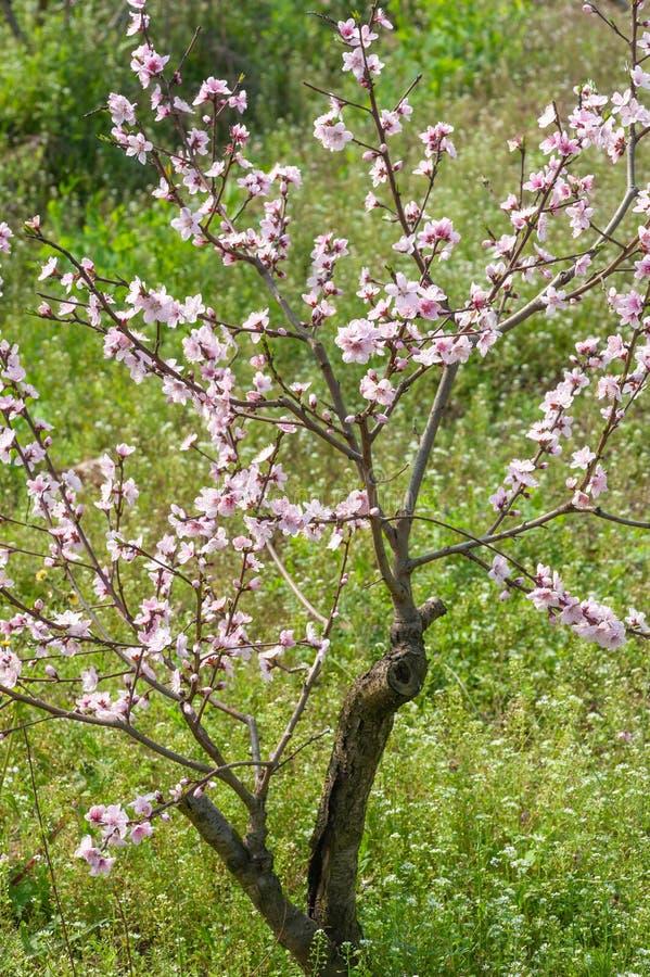 N?rbild f?r persikablomningtr?d i Chengdu fotografering för bildbyråer