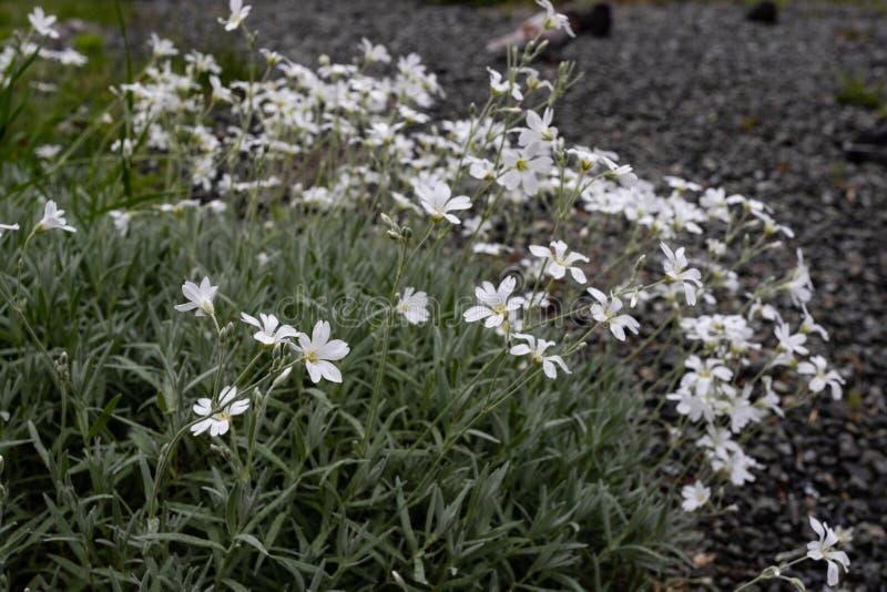 N?tta vita blommor som blommar i en tr?dg?rd royaltyfri foto