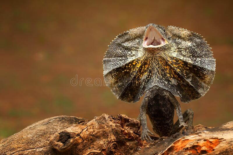 A n Umbrella Soa lizard opening his mouth to intimidate the other predator royalty free stock photos