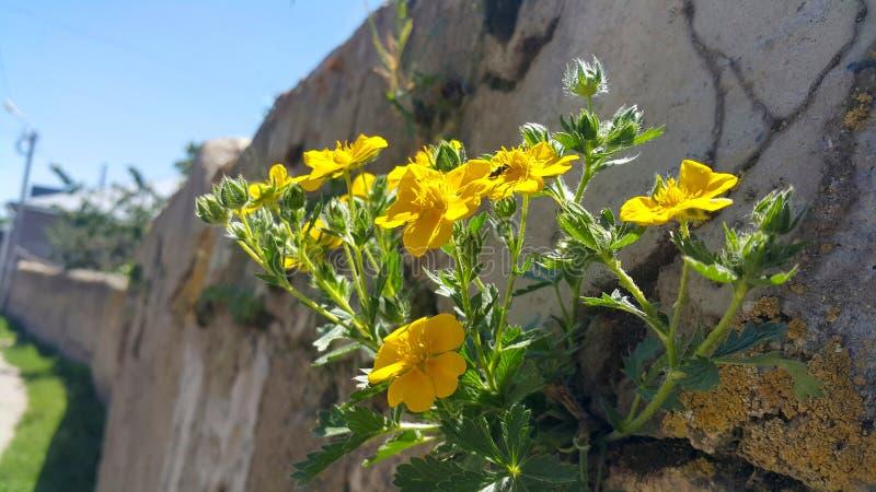 Na ścianie w ogrodzeniu rósł zielone piękne rośliny i kolorów żółtych kwiaty zdjęcia stock