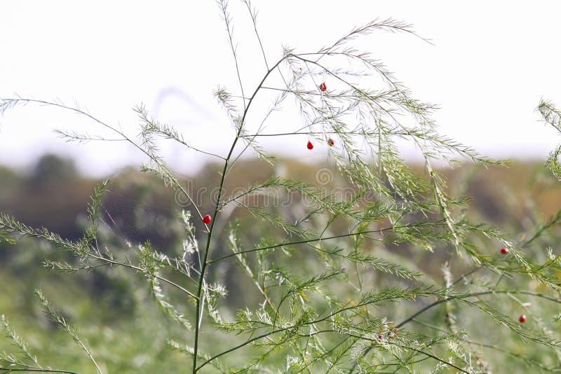 Na Aspergeoogst in de herfst groeien de groene struiken met breekbare takjes op het gebied met nieuwe rode zaden stock fotografie