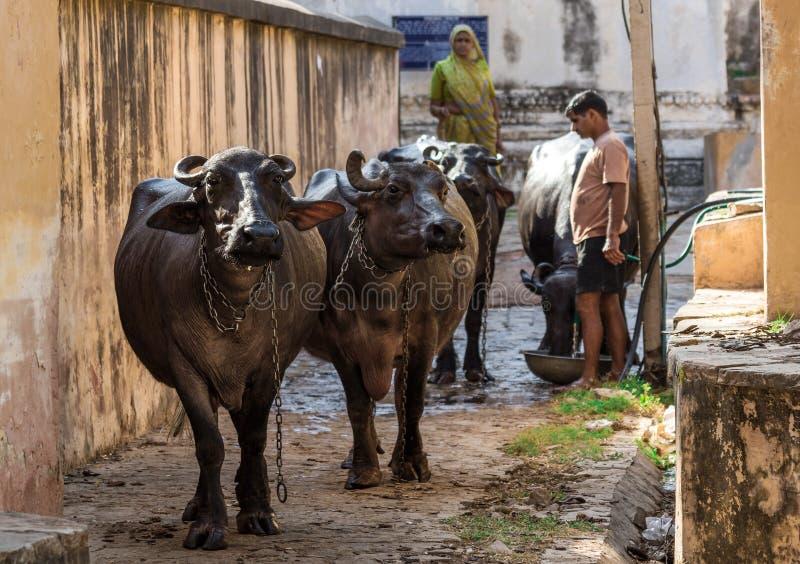 Na beira com Paquistão, os animais selvagens surpreendentes de Rajasthan imagens de stock