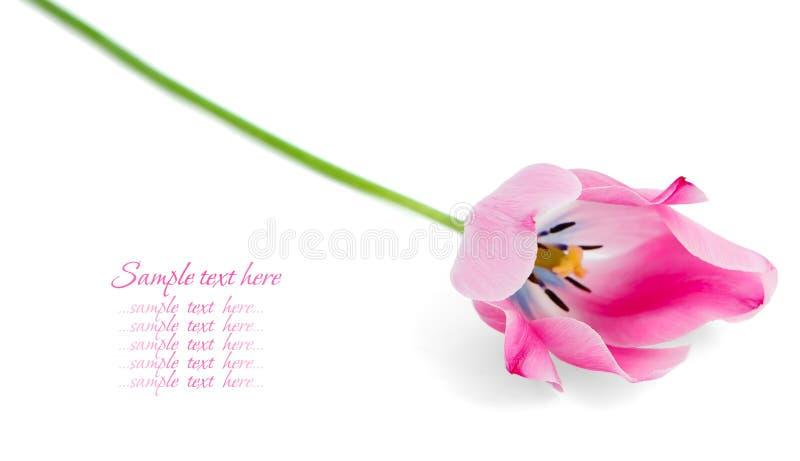 Na biały tle różowi tulipany. zdjęcie stock