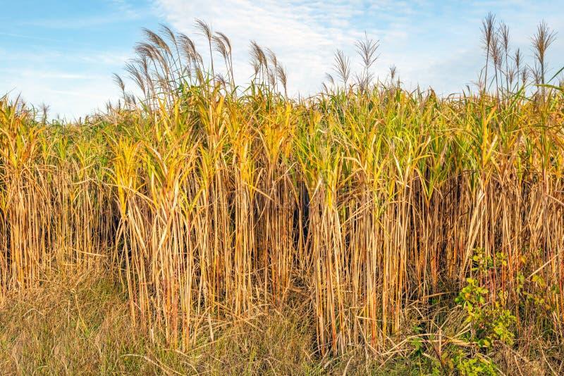 Na borda plantas do giganteus amarelo maduro da grama ou do Miscanthus do elefante em um campo holandês A colheita é usada como o imagem de stock
