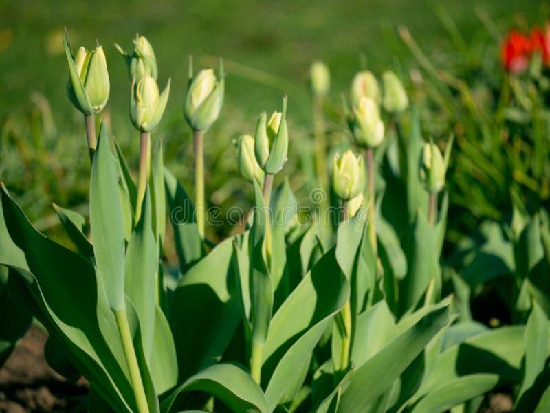 Na cama de flor no jardim cresceu tiros verdes novos do l imagem de stock