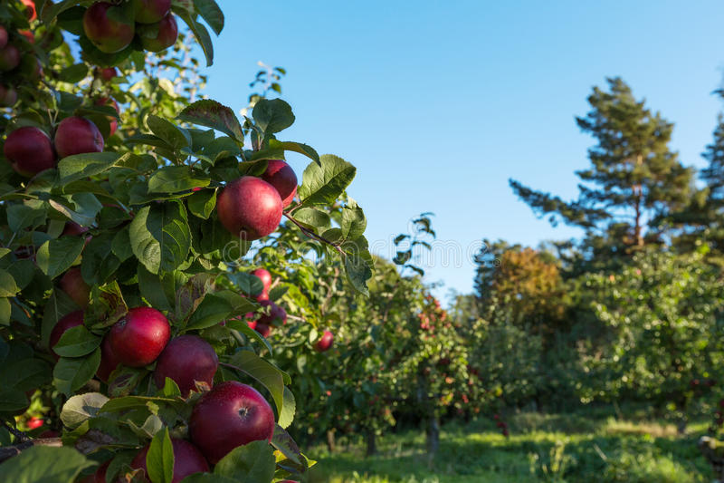 Na drzewie czerwoni jabłka zdjęcie stock