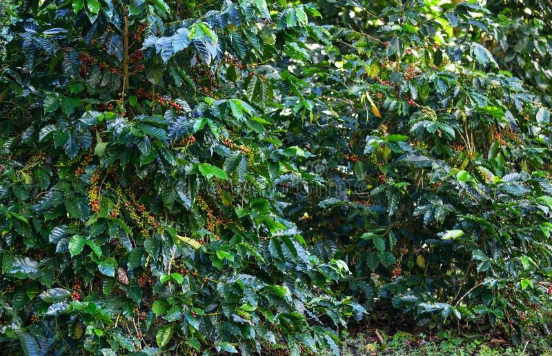Na drzewie kawowe fasole obraz royalty free