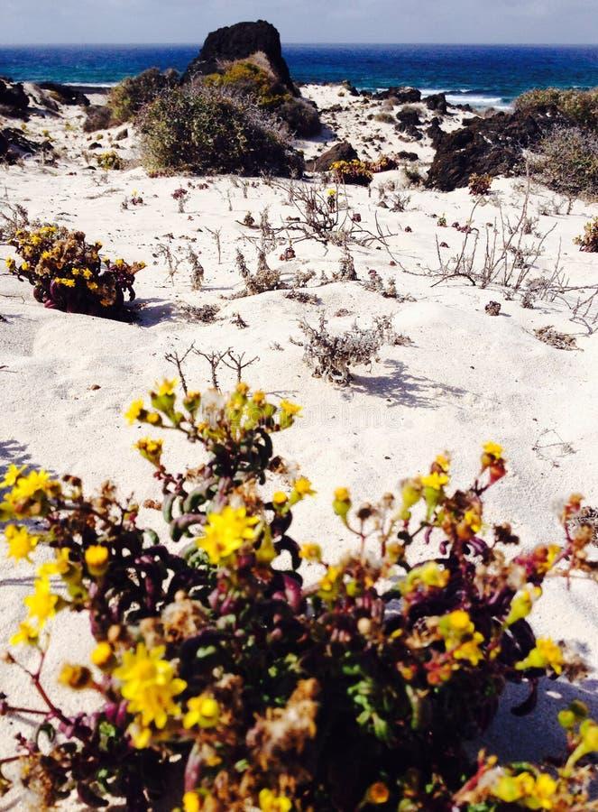 Na flor do amarelo da praia foto de stock royalty free