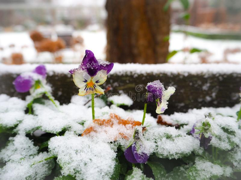 Na flor roxa coberto de neve do amor perfeito imagens de stock