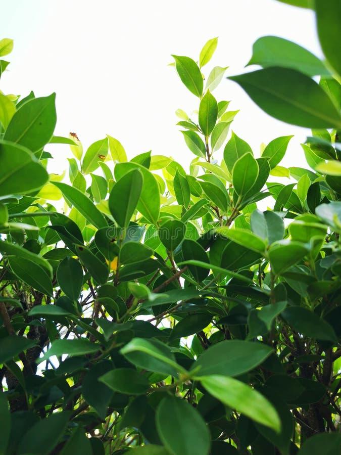 Na górze drzewa zaznaczono nazwę Banyan na białym tle. Ma ozdobioną naturę's ścianę fotografia royalty free