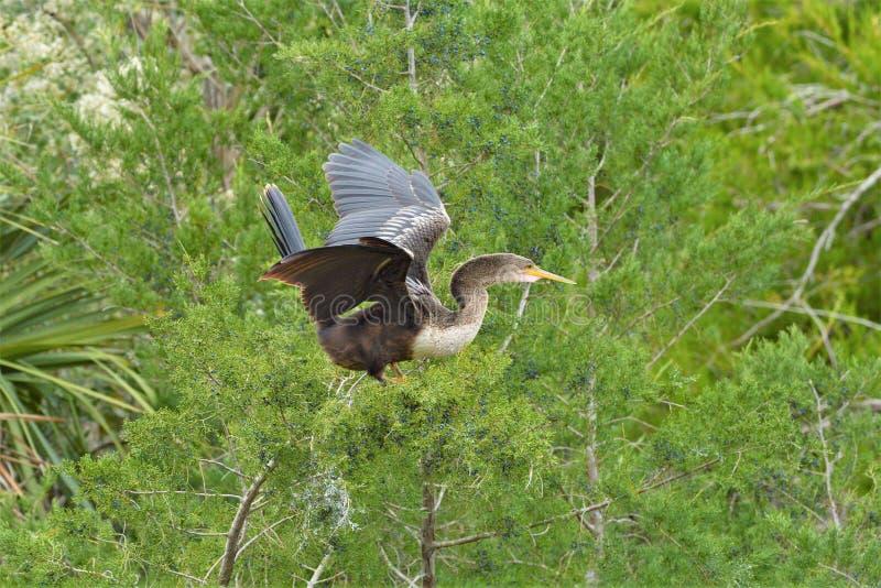 Na het fokken, ruit anhinga zijn vluchtveren, en voor een korte periode niet kan vliegen stock afbeeldingen