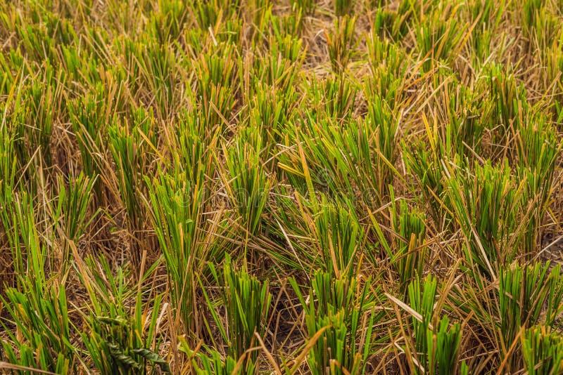 Na het oogsten van rijst verlaten op het gebied, wordt het genoemd rijststoppelveld royalty-vrije stock afbeelding