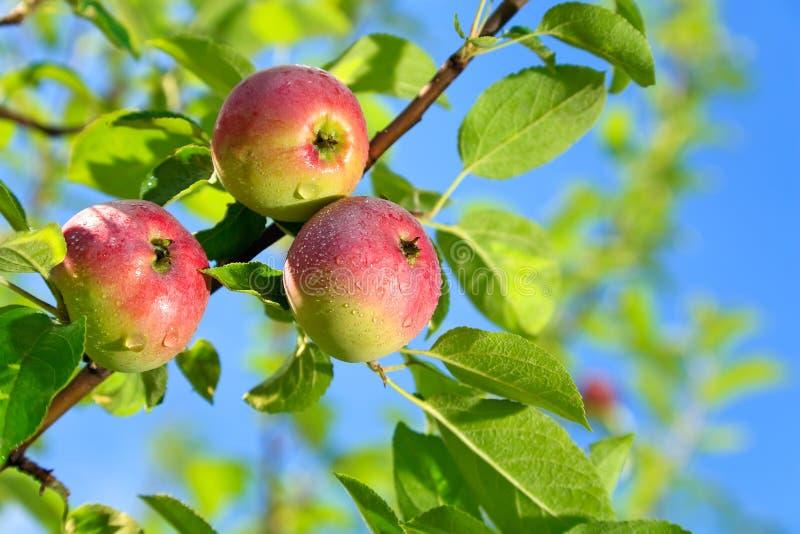 Na jabłoni gałąź czerwoni jabłka zdjęcie royalty free