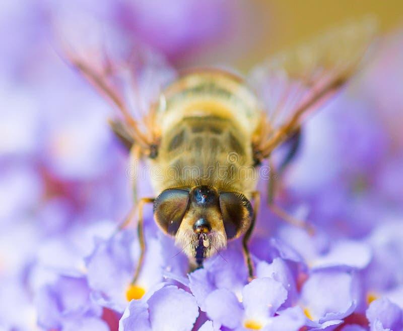 Na kwiacie miodowa Pszczoła zdjęcie royalty free