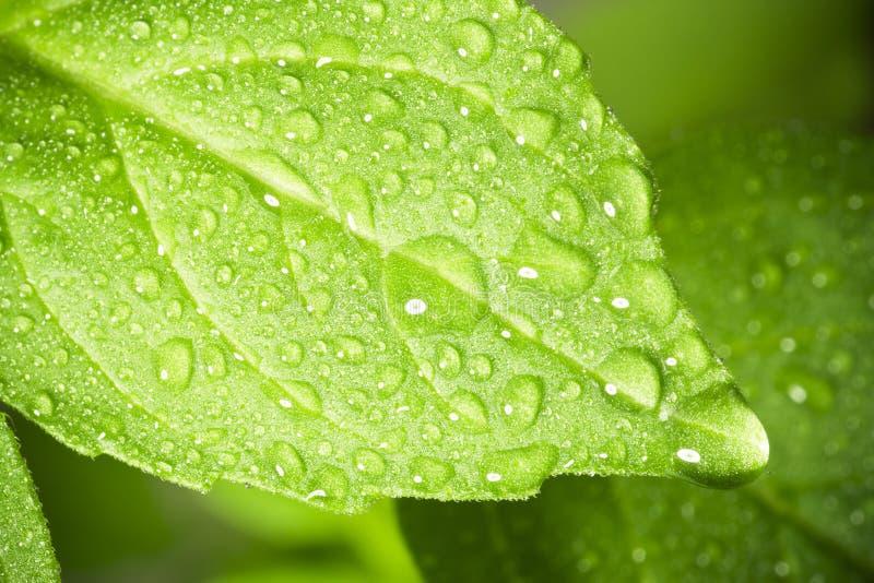 Na liść wodne krople. zdjęcie royalty free