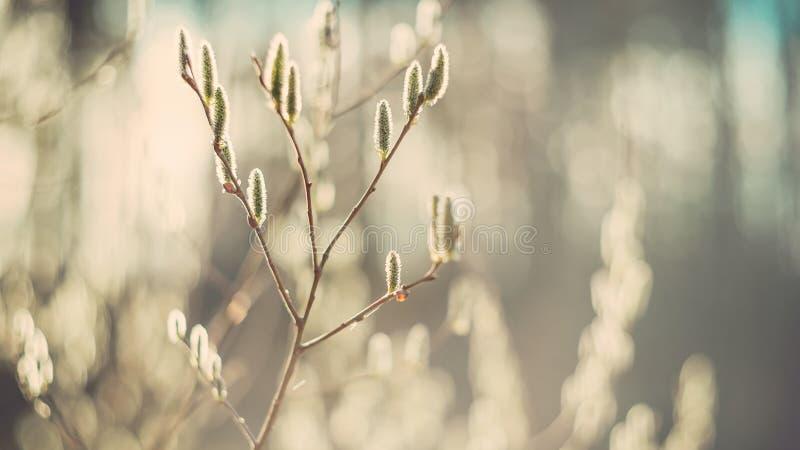 Na mola, um salgueiro de floresc?ncia macio Bush em um dia ensolarado Foco seletivo Arte wallpaper Olhar retro Foco macio fotos de stock