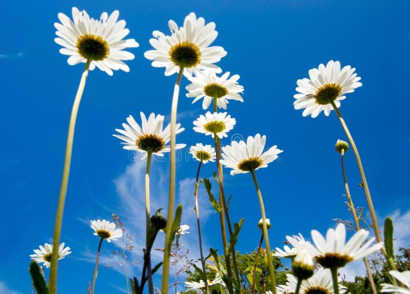 Na niebieskim niebie biały stokrotki zdjęcia royalty free