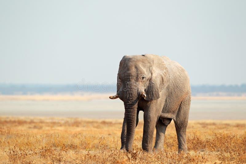 Na otwartych równinach afrykański słoń obrazy royalty free