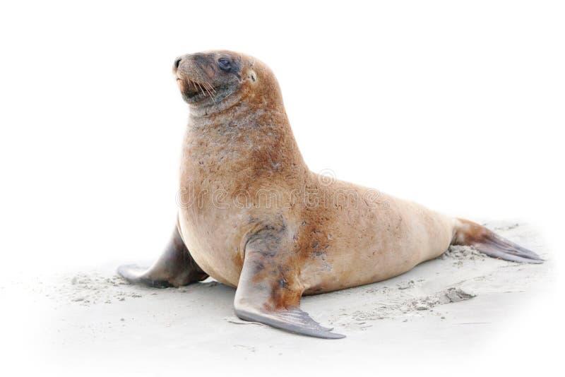 Download Na plaży denny lew zdjęcie stock. Obraz złożonej z nadwodny - 27870804
