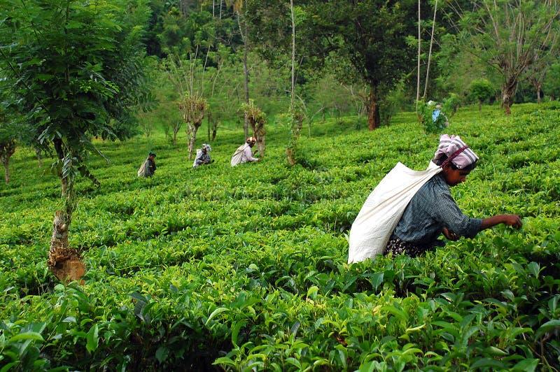 Na plantação de chá fotografia de stock royalty free