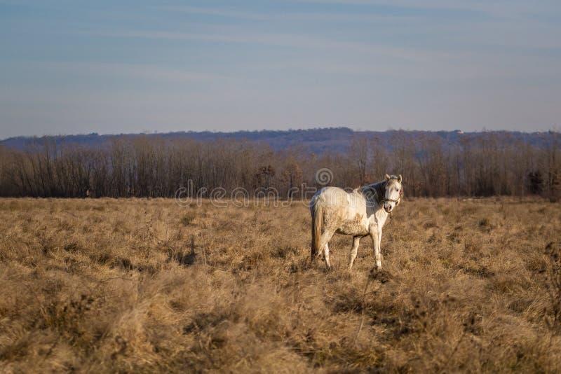 Na polu biały koń zdjęcie royalty free