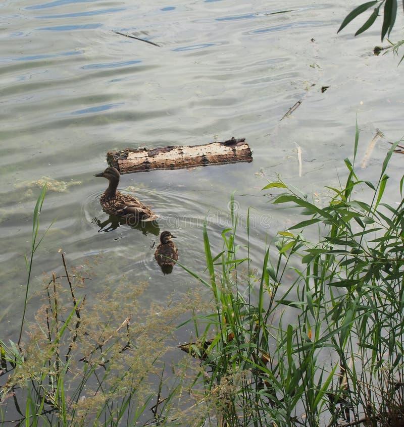 Na powierzchni zbiornika unosi siÄ™ dzika kaczka z maÅ'Ä… kaczkÄ… zdjęcie royalty free
