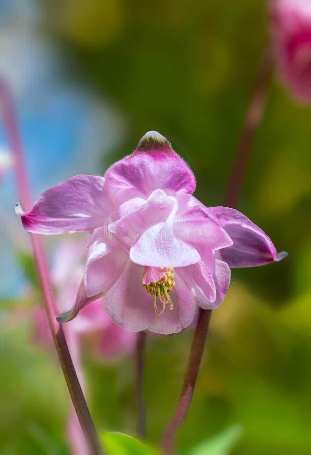 Na primavera jardim aquilégia cor-de-rosa imagem de stock
