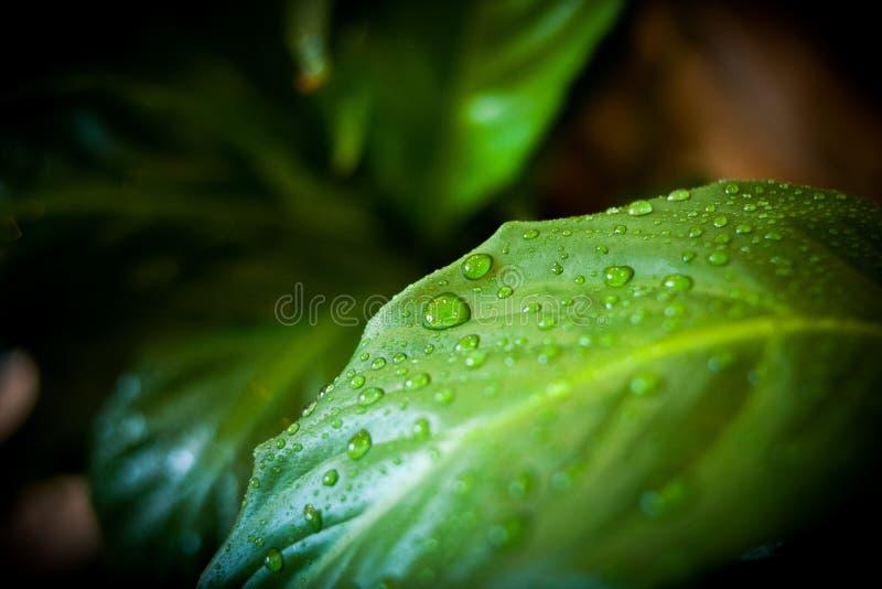 Na roślinie wodne krople zdjęcie stock