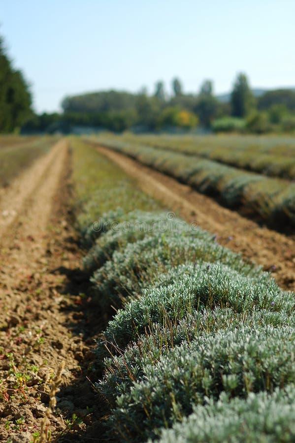 Na seizoen van het gebied van de Lavendel royalty-vrije stock foto