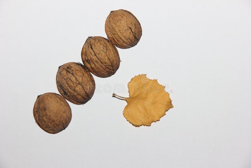 Na superfície branca há quatro escudos da noz e uma folha amarela do outono de uma árvore de vidoeiro fotos de stock royalty free