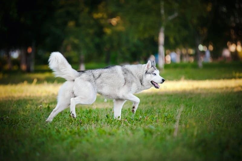 Na trawie śliczny psi łuskowaty bieg zdjęcia stock