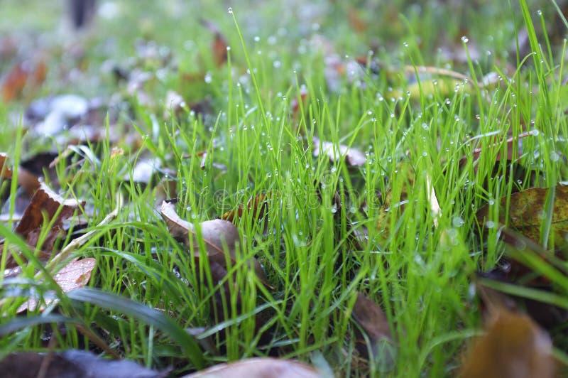 Na trawie ranek rosa zdjęcie royalty free