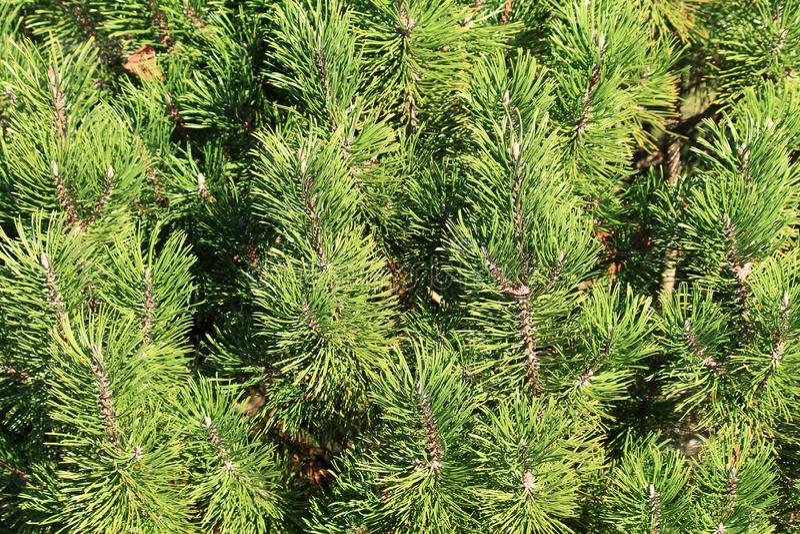 Na zawsze zielony wiecznozielony zdjęcie stock
