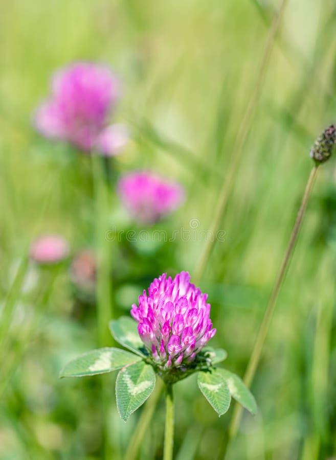 Na zielonej łące w słoneczny dzień Trawa i kwiaty w terenie w okresie letnim Niewyraźne tło zdjęcia stock