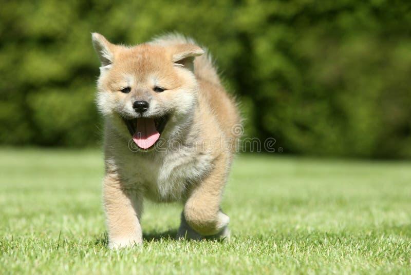 Na zielonym gazonie szczeniaka szczęśliwy bieg zdjęcie royalty free