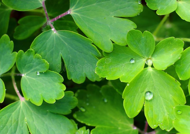 Na zielonym li?? wodne krople fotografia stock