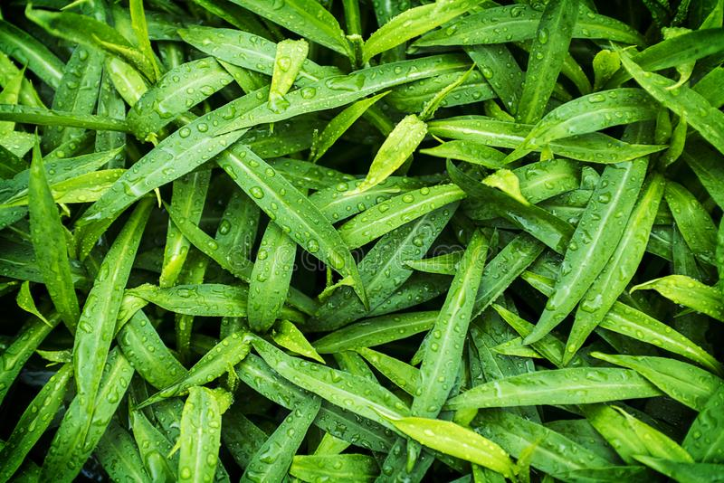 Na zielonym li?? wodne krople z bliska Rosa po deszczu akacjowi zielone li?cie t?o Naturalny wz?r zdjęcie stock