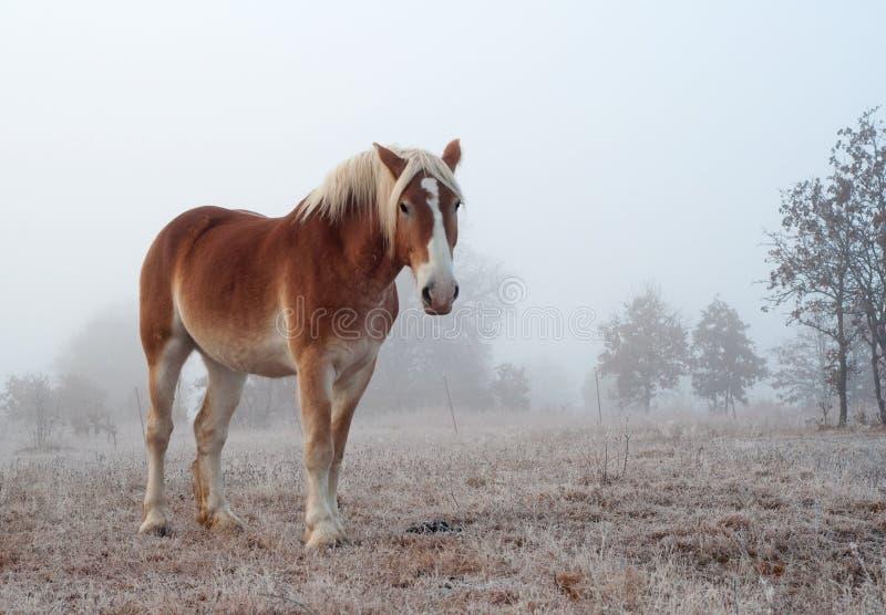 Na zima mgłowym ranek szkicu belgijski koń zdjęcie royalty free