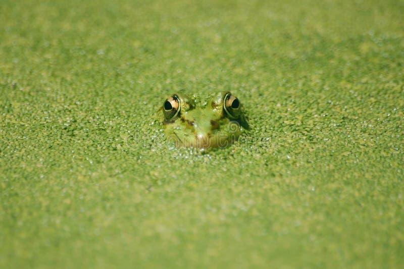 Naadloze kikker in groene vijver stock afbeeldingen